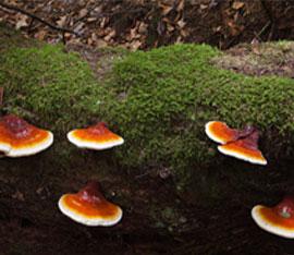 Fanoderma lucidum sono funghi antitumorali