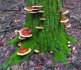 Ganoderma lucidum e un antibatterico